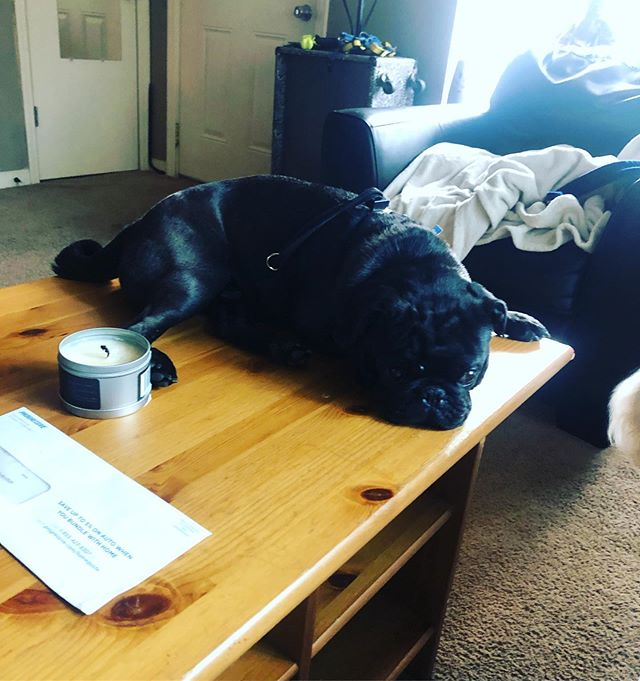 "THIS guy. ""I'm just gonna lay on this coffee table cause im CUTE that's why.""~Iggy #nashville #wagswednesday #pugsofinstagram #coffeetable #cwazed"