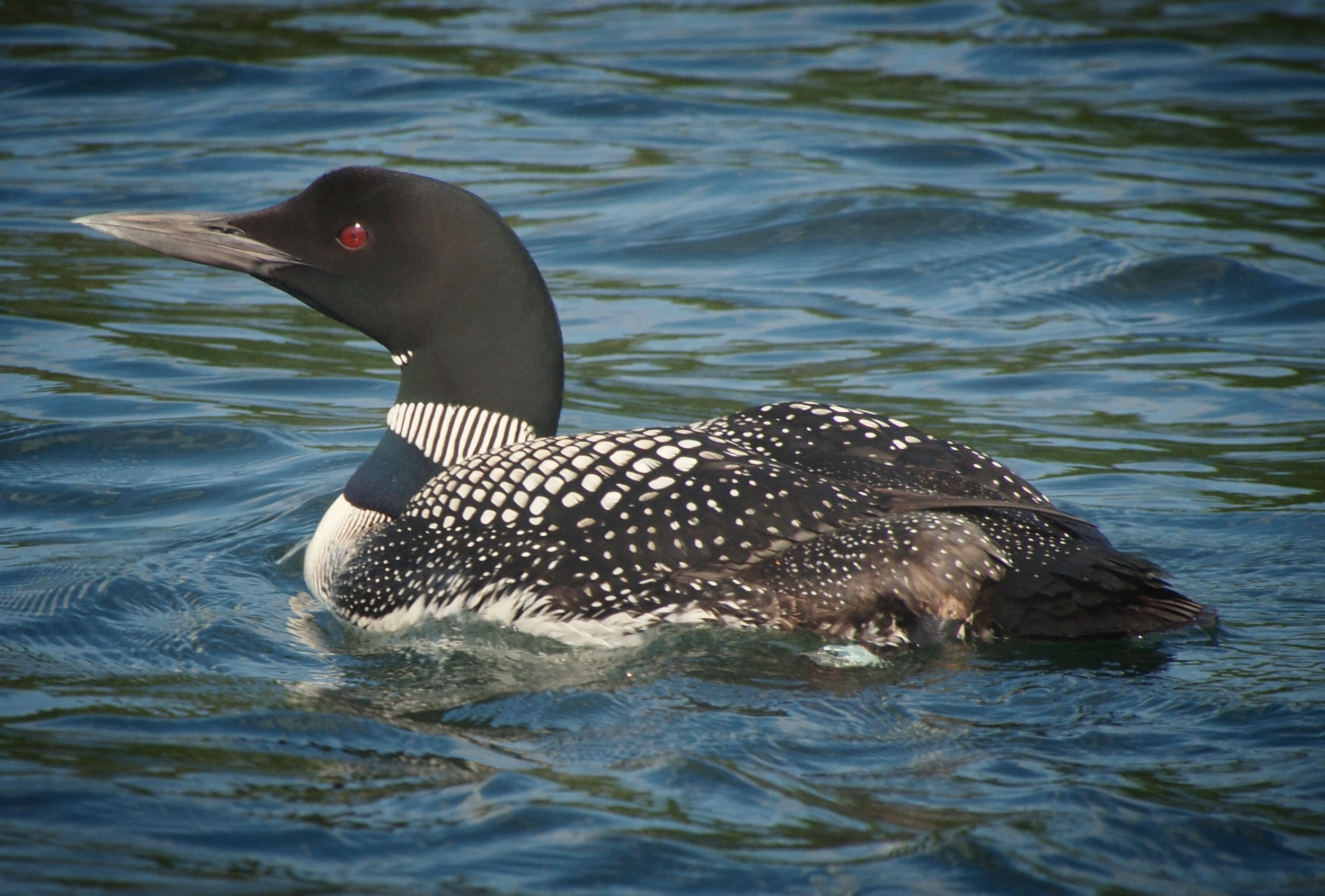 Listen to the sounds of the loons' calls! Two pairs of loons call Big Blake Lake home!