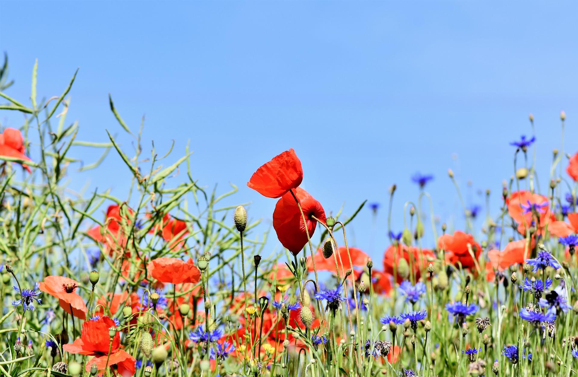 poppy-3441348_1920.jpg