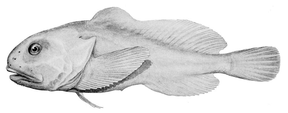 """The blobfish ain't so blobby at deep-sea pressures.Alan Riverstone McCulloch (1885-1925) - Fisheries: Zoological results of the fishing experiments carried out by F.I.S. """"Endeavor"""" 1909-10 under H.C. Dannevig. Public Domain"""