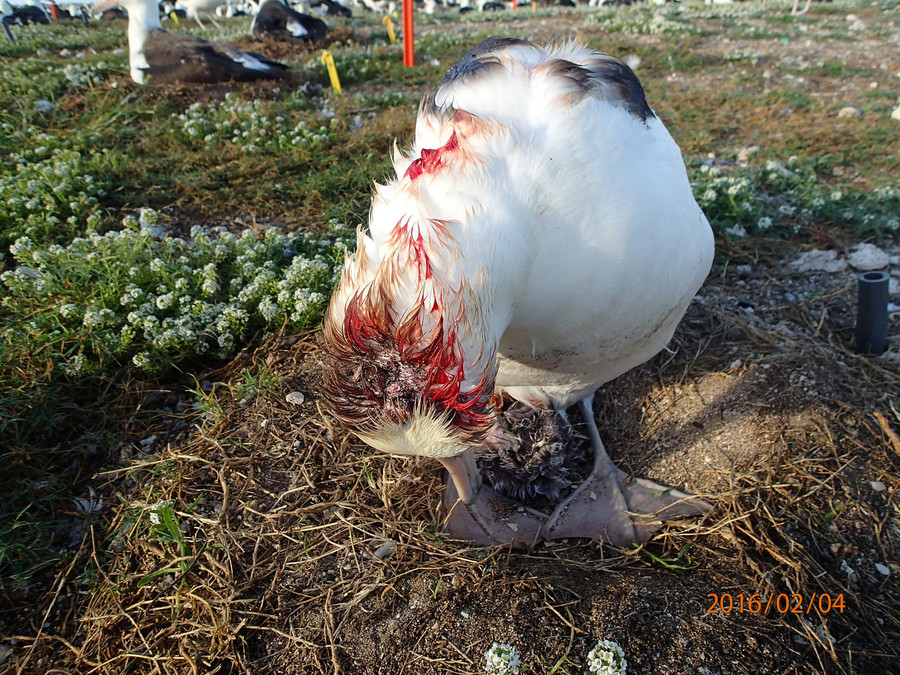 An albatross displays a severe head wound following a mouse attack. © USFWS