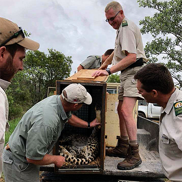 Being close at hand and helping the experts with the relocation of the cheetahs