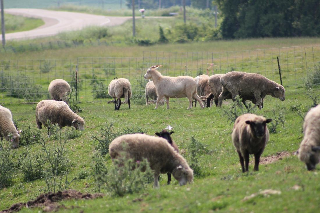 sheep1014a