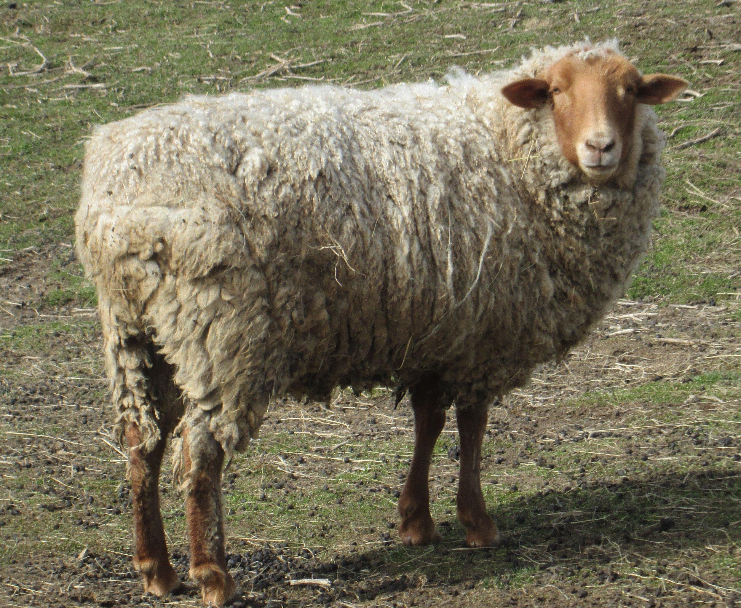 Our Gilbert- a rare California Red sheep!