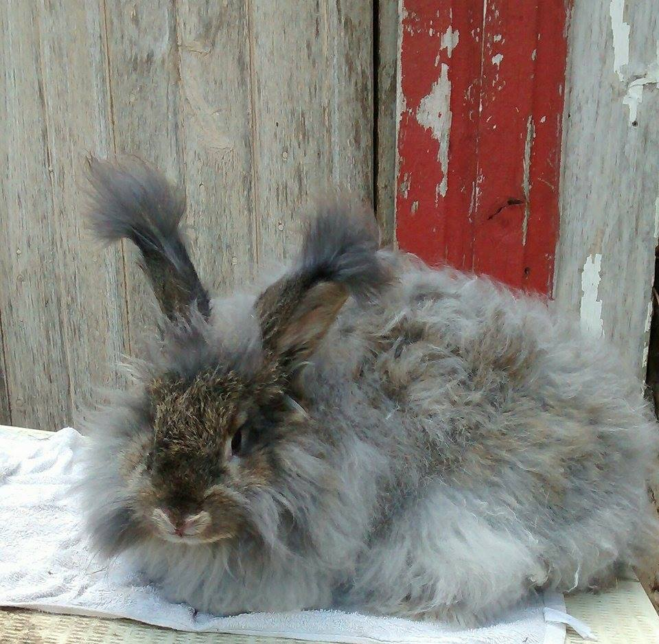 French Angora bunny