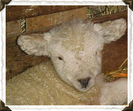 Our Baaxter Romney sheep- twin to Piper!