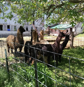The llama boys were very impressed with the new girls! (They look like buffalo next to the girls!)