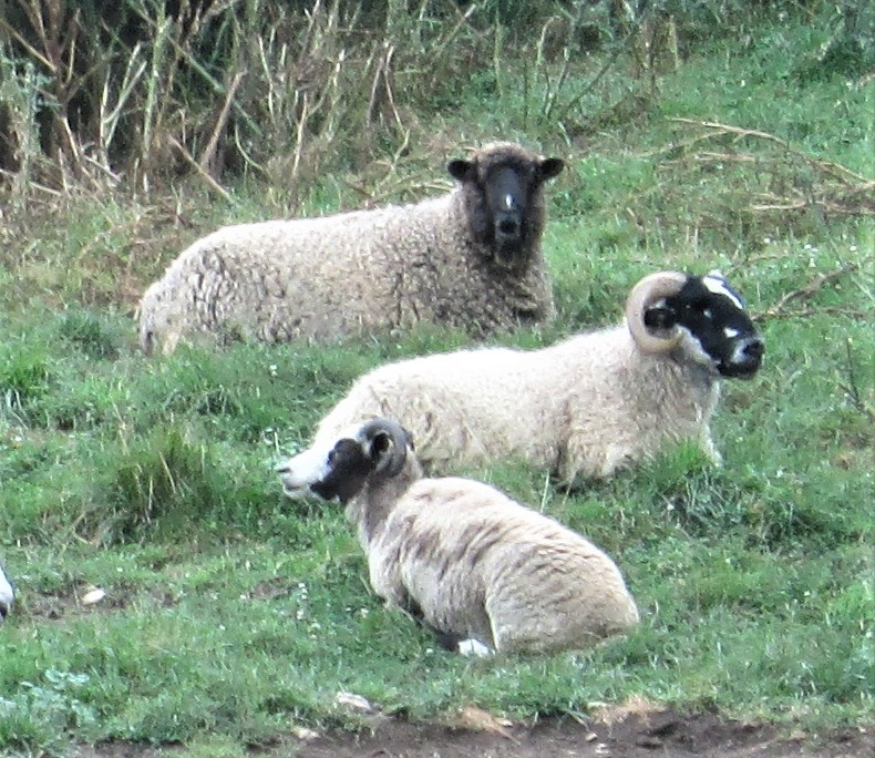 sheep817lightspixiedevlinpenny.JPG