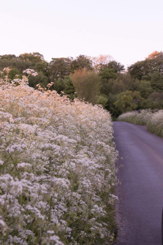 cowparsley.jpg