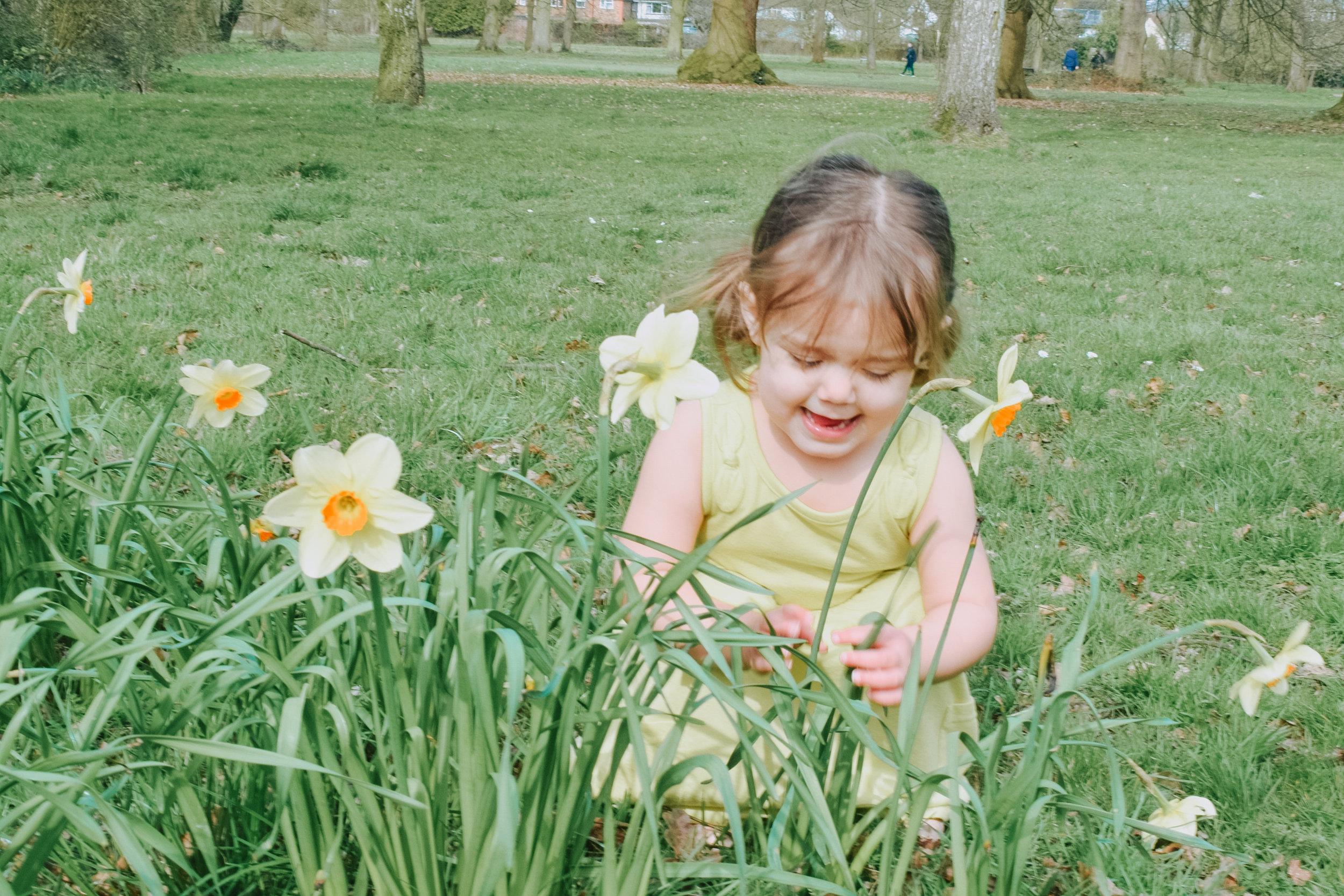 Daffodils at Cassiobury Park, Watford