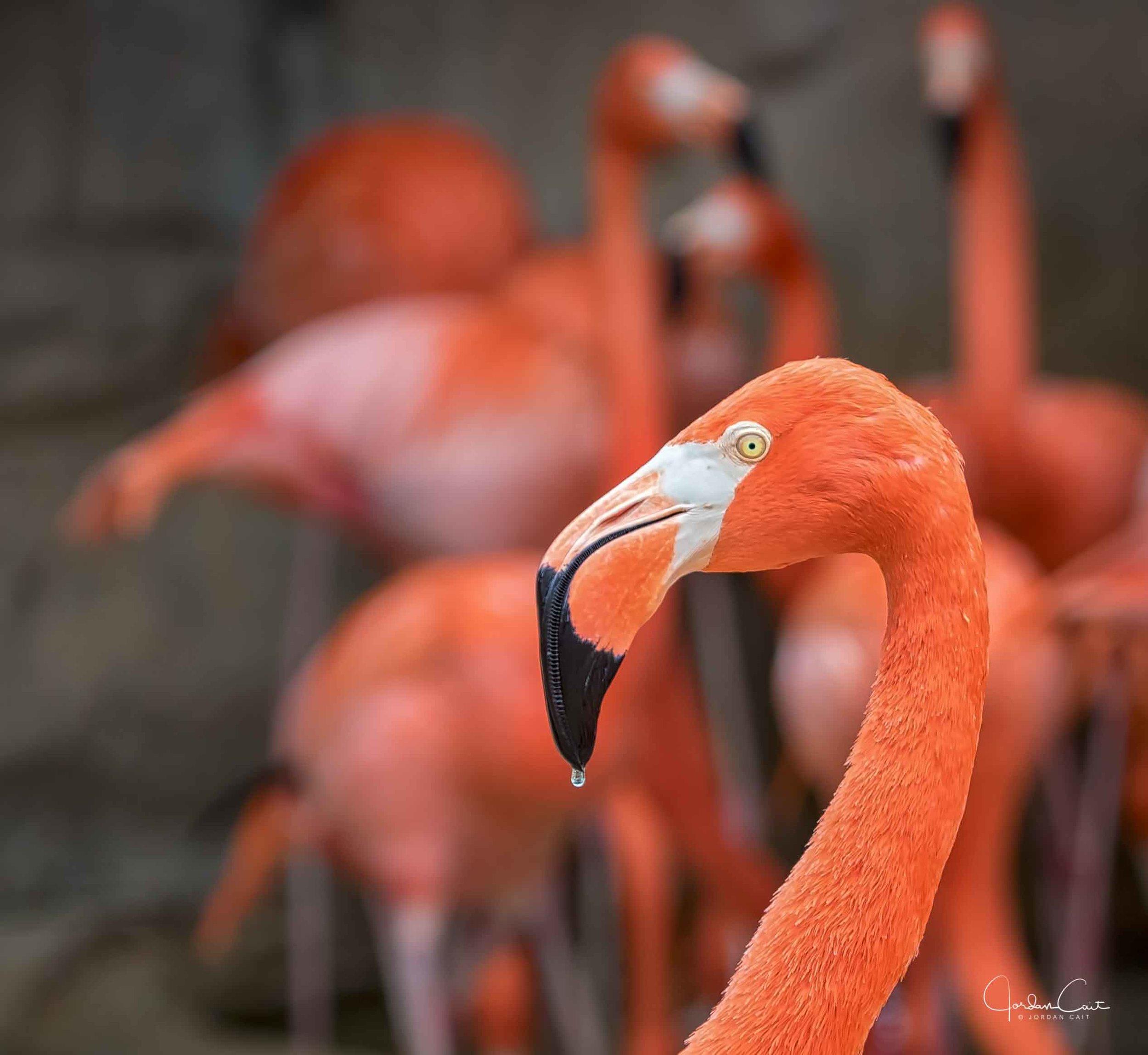 Dripping Pink Flamingo