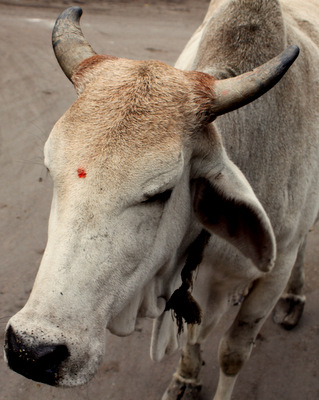 cow with bindi.JPG