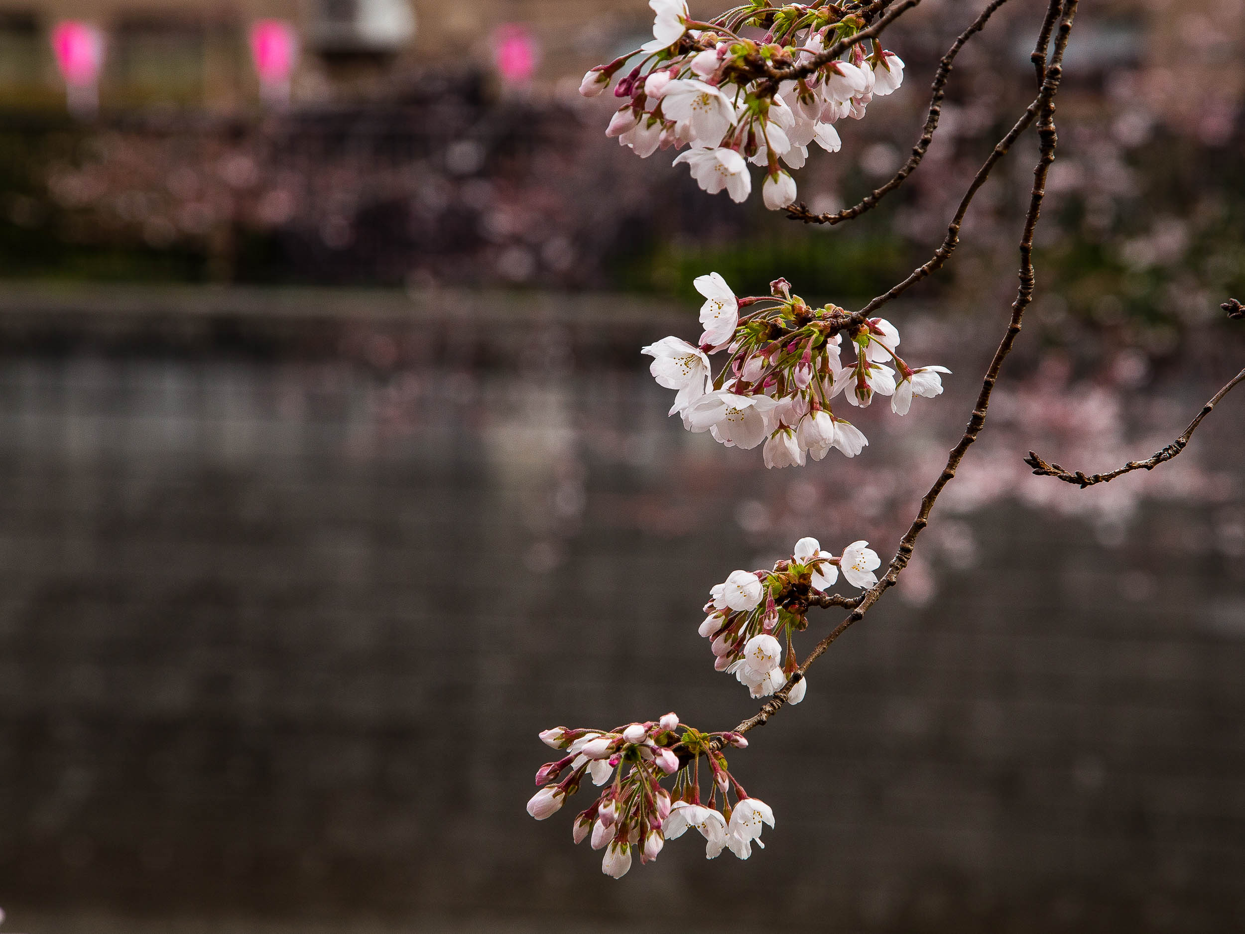 Cherry Blossoms Meguro River Tokyo