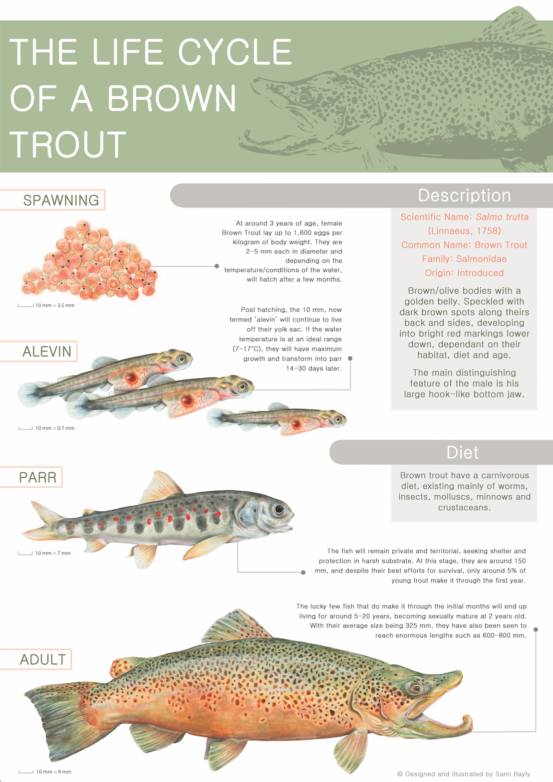 Life Cycle of a Brown Trout Infographic