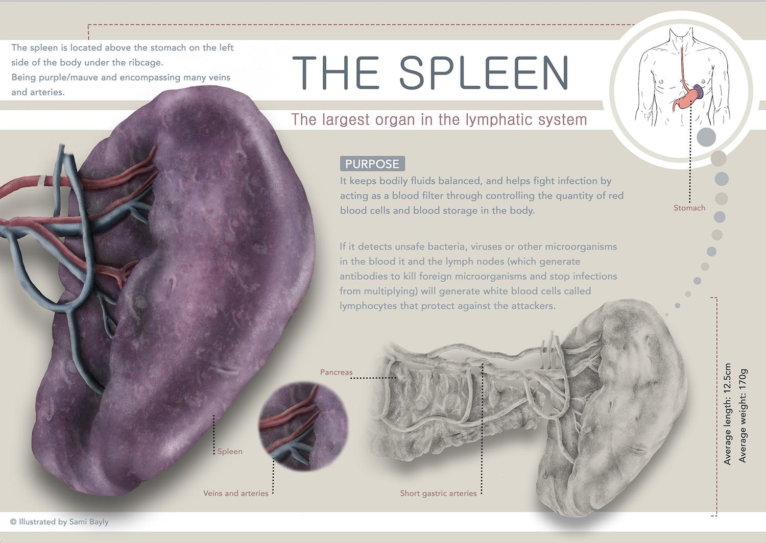 Spleen Infographic