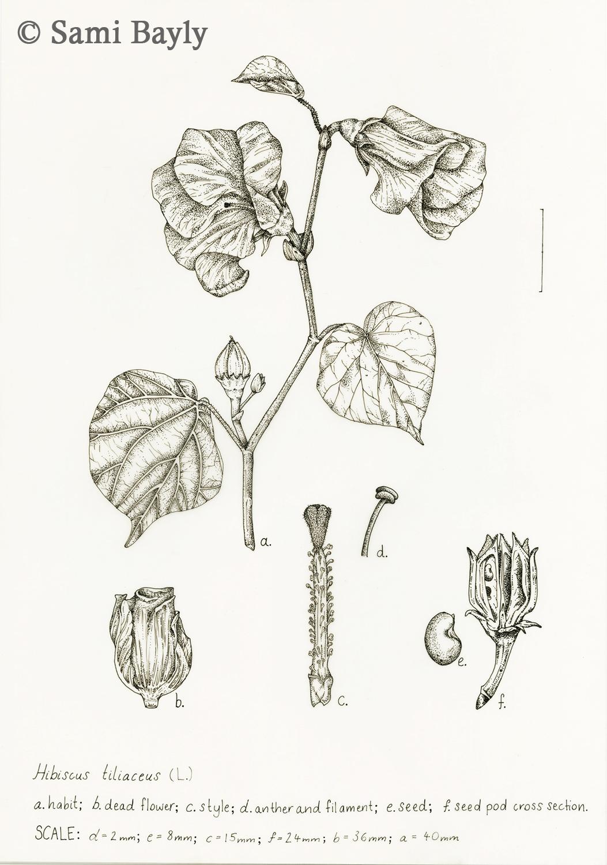 Line Hibiscus tiliaceus