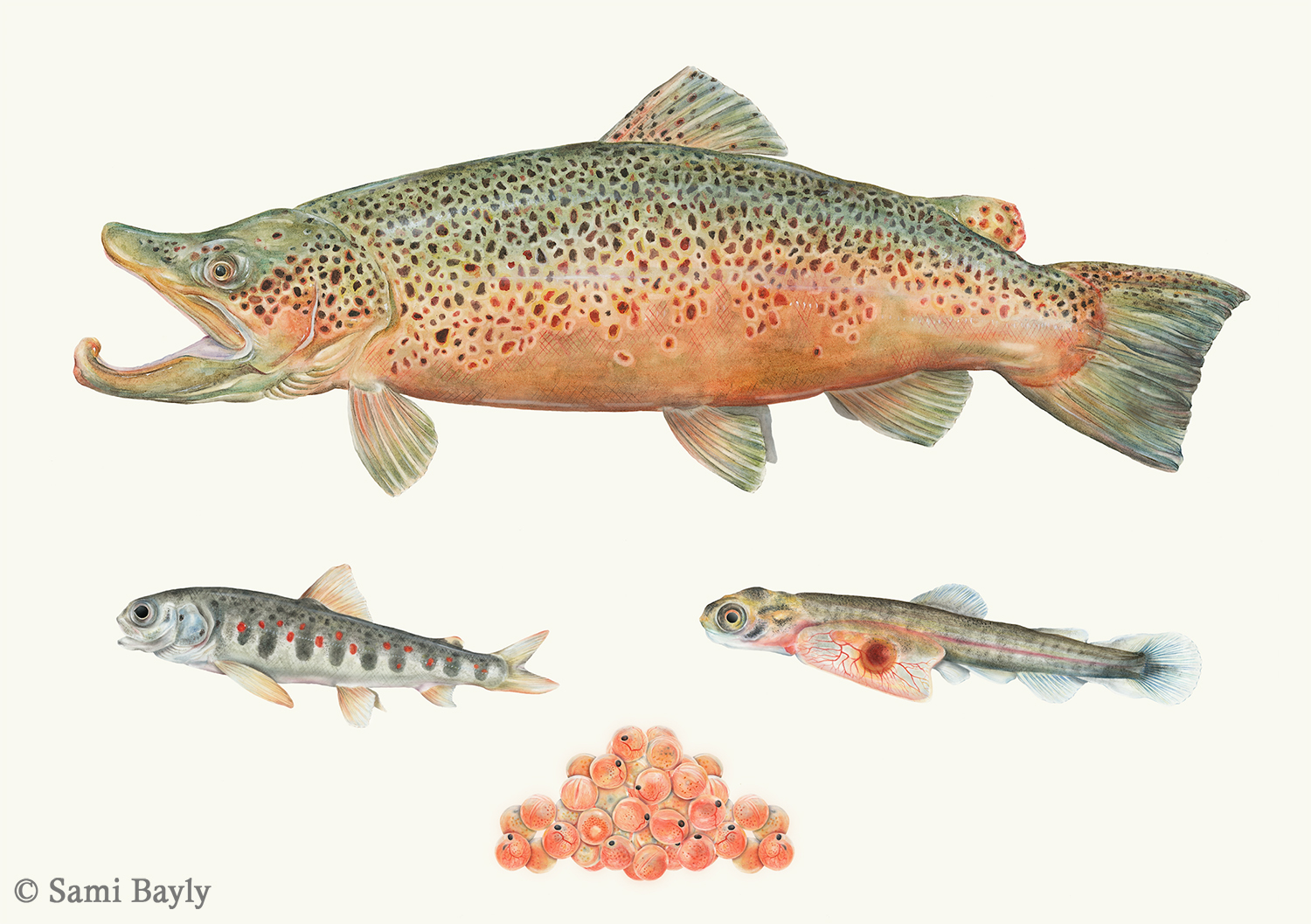 Life Cycle of a Brown Trout
