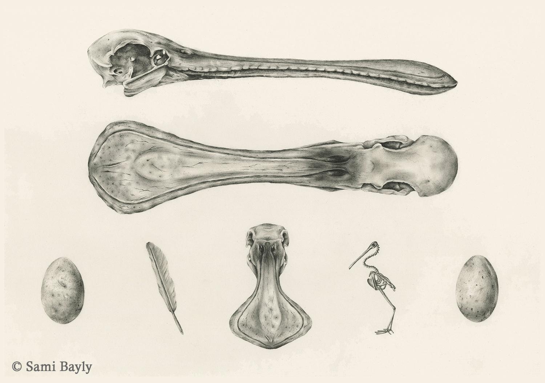Royal Spoonbill Scientific Plate