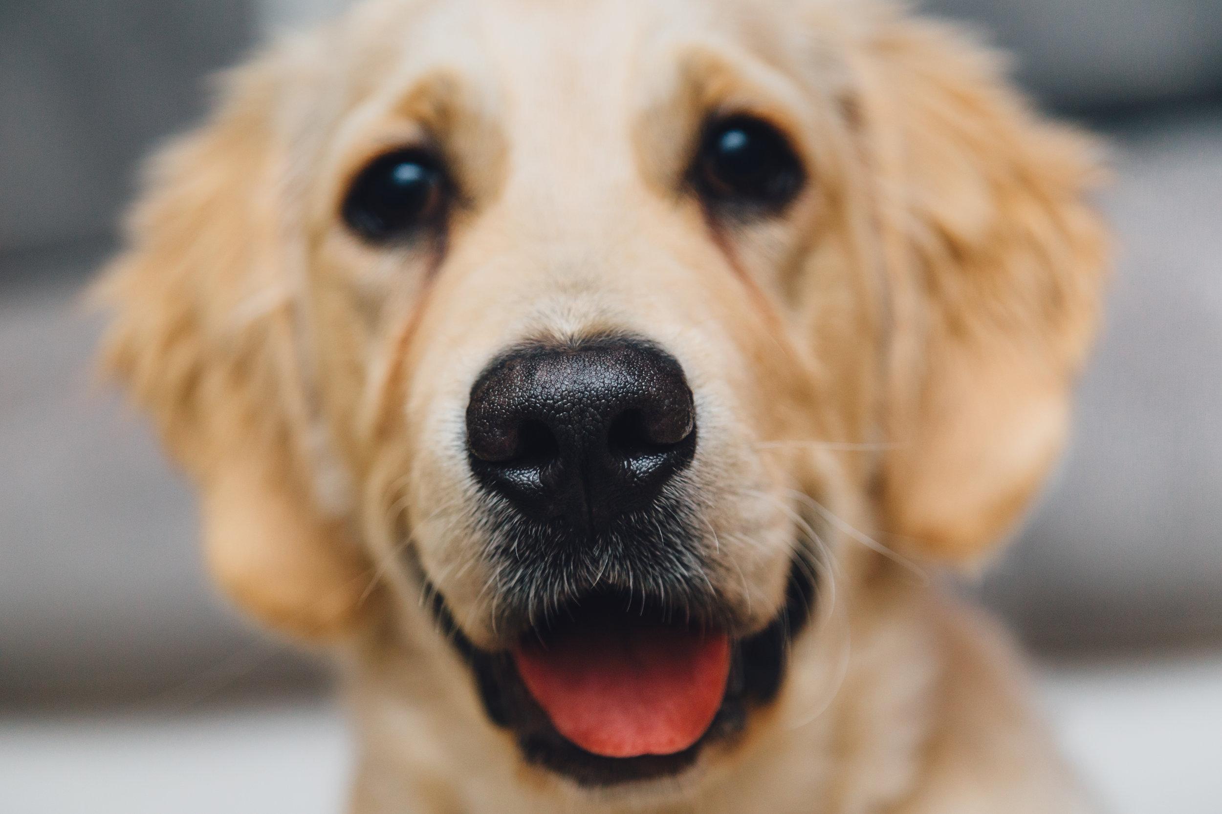 Dog Focused on Human