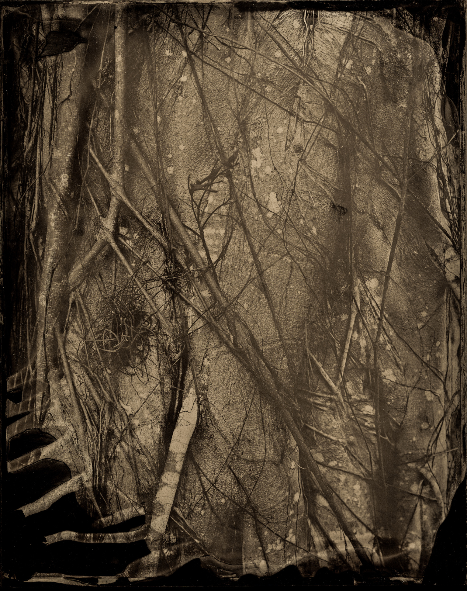 Vascular Impulse, ambrotype original, archival pigment print, 40 in. x 50 in., 2018