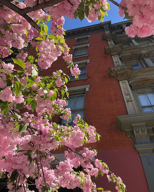 The cherry blossoms on West Broadway are out of this world today 🌺😍🌺 #spring #cherryblossoms #flowers #westbroadway #soho #tribeca #manhattan