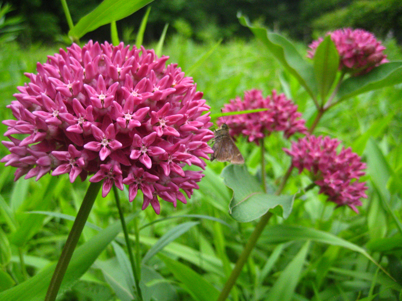 Purple milkweed in the NJ Sourland Mountains. It is also an oak savannah species in the Midwest.