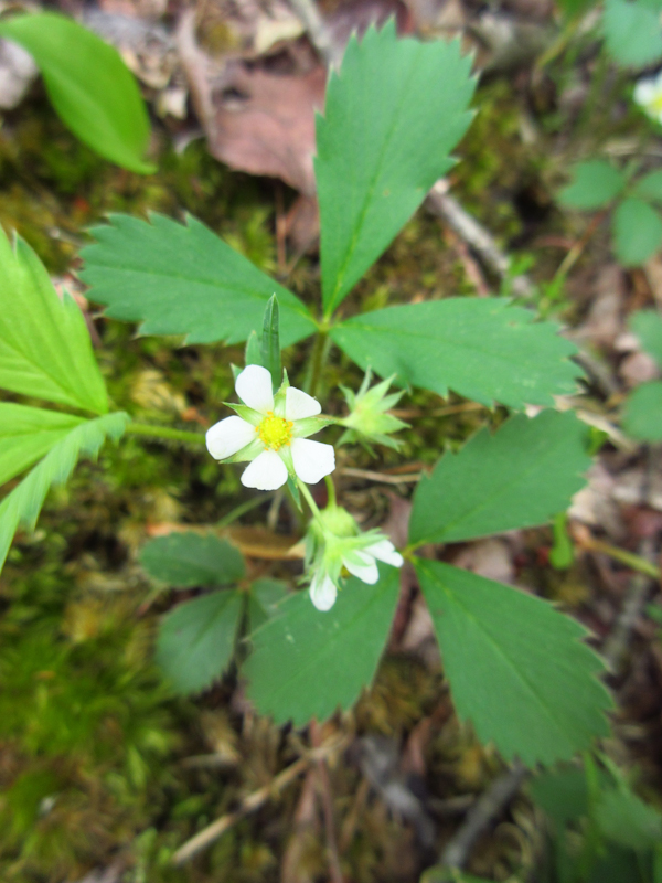Wild strawberry Fragaria virginiana Rosenbaum-1.jpg