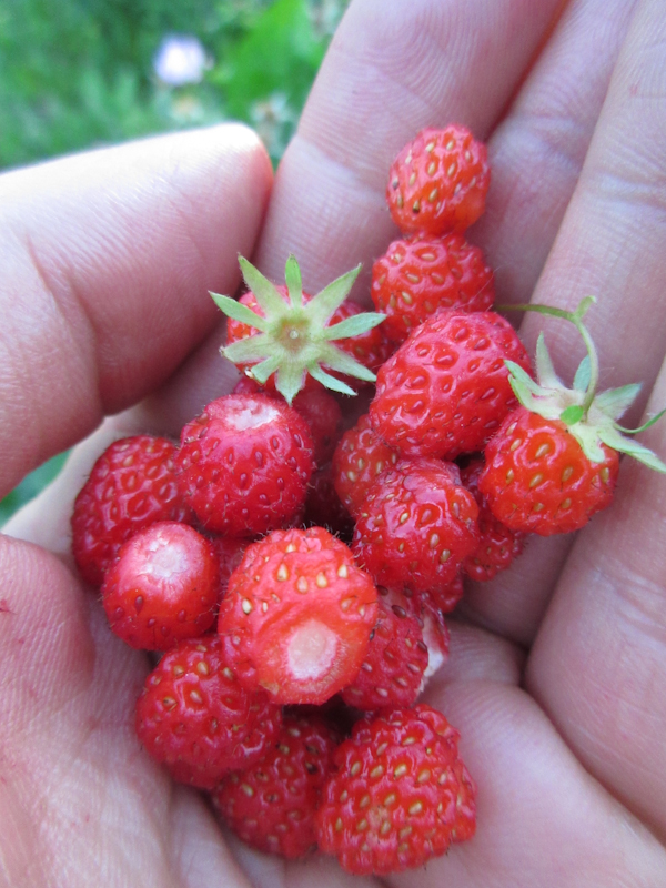 Wild strawberry Fragaria virginiana Rosenbaum-5.jpg