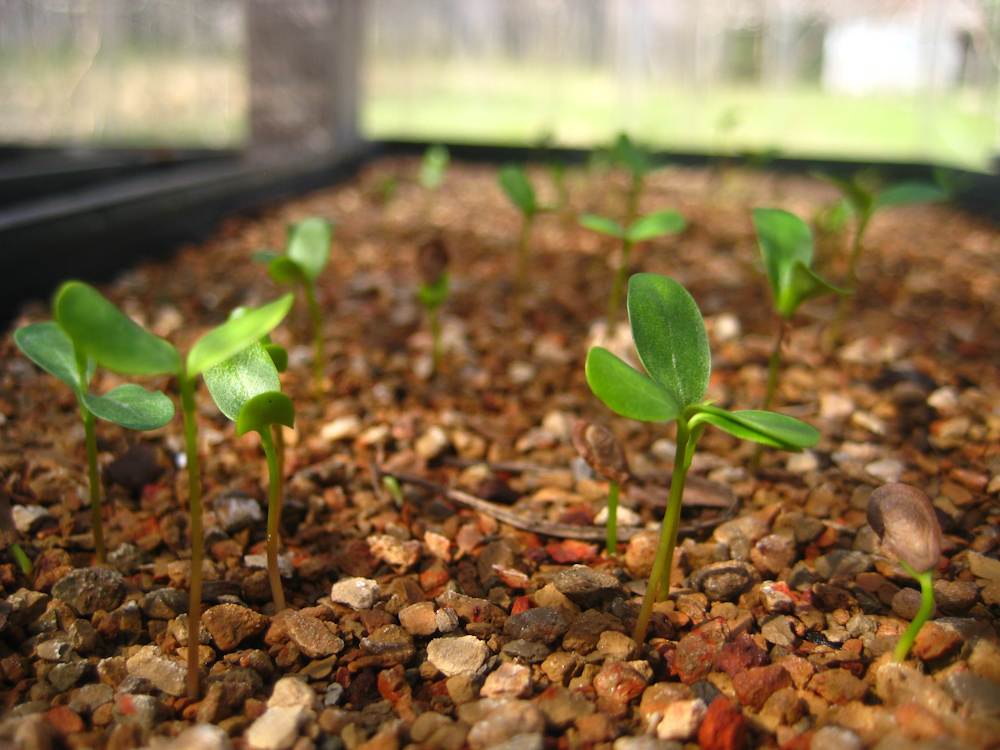 Purple milkweed seedlings at Wild Ridge Plants
