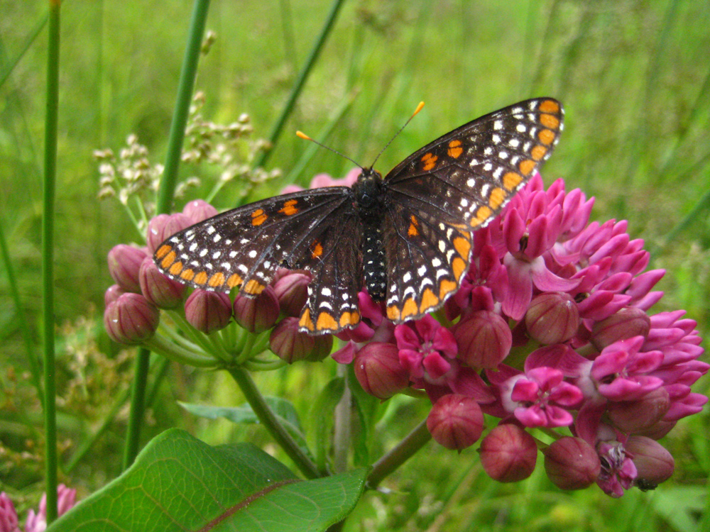 Baltimore checkerspot butterfly on purple milkweed in the Sourlands of New Jersey