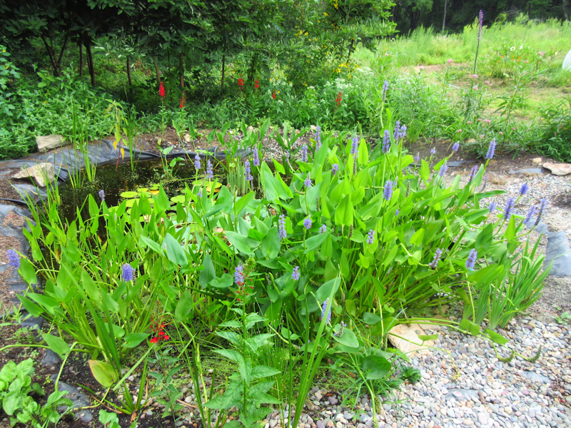 Pickerelweed and cardinal flower in bloom - 2015
