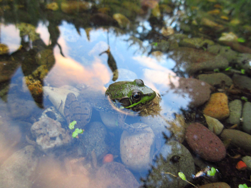 Several species of frogs have found the pond, including tree frogs, wood frogs, spring peepers, bullfrogs, and the green frog above - 2015