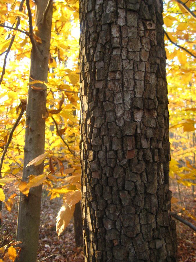 The beautiful dark snakeskin bark of wild persimmon.  Photo: Rosenbaum