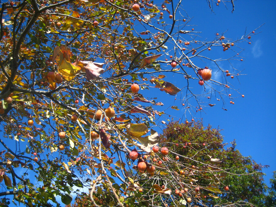 Persimmons ready for harvest
