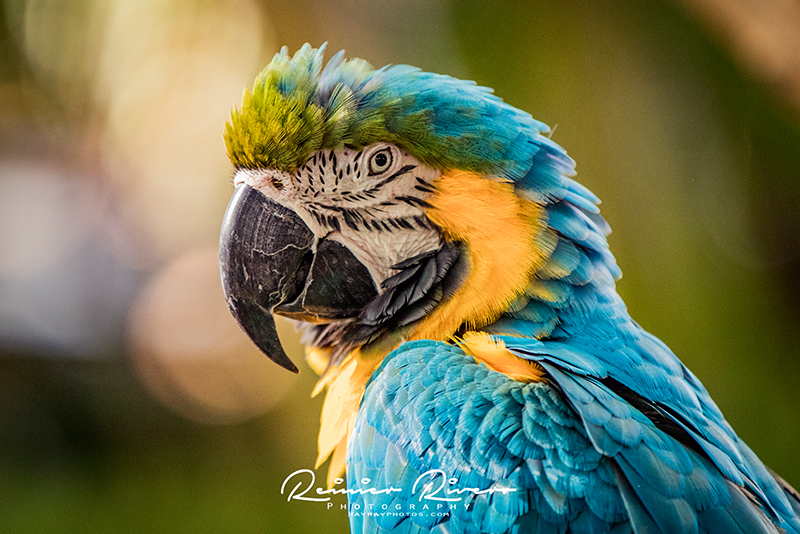 Blue-and-Yellow-Macaw.jpg
