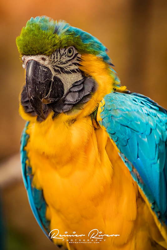 Blue-and-Yellow-Macaw-Close-Up.jpg
