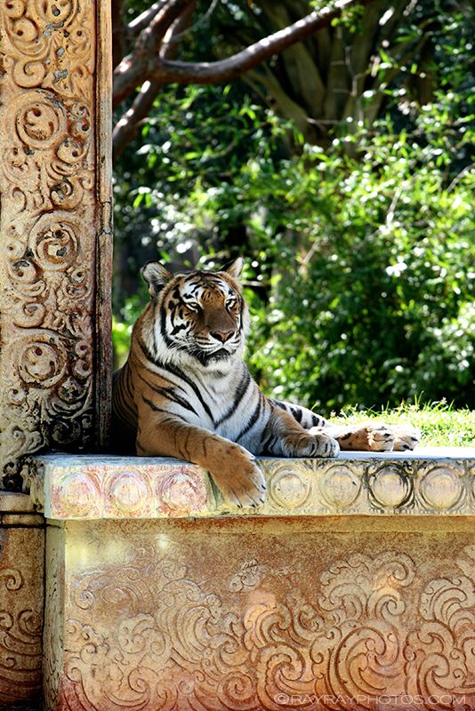 TigerLR.jpg