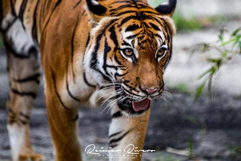 Tiger-West-Palm-Beach-Zoo-2.jpg