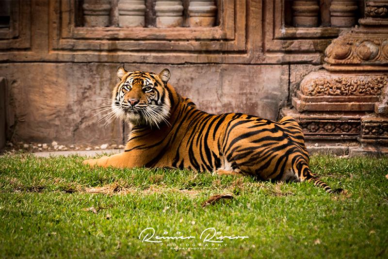 Tiger Miami Zoo 1.jpg