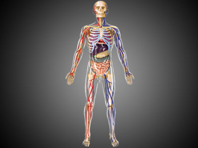 4d-human-anatomy-transparent-human-body-27539photo.jpg