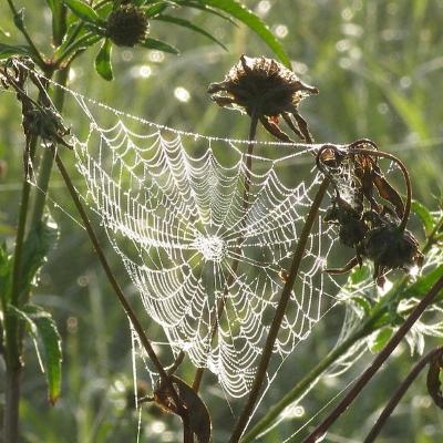 Spinnennetz (wikimedia)