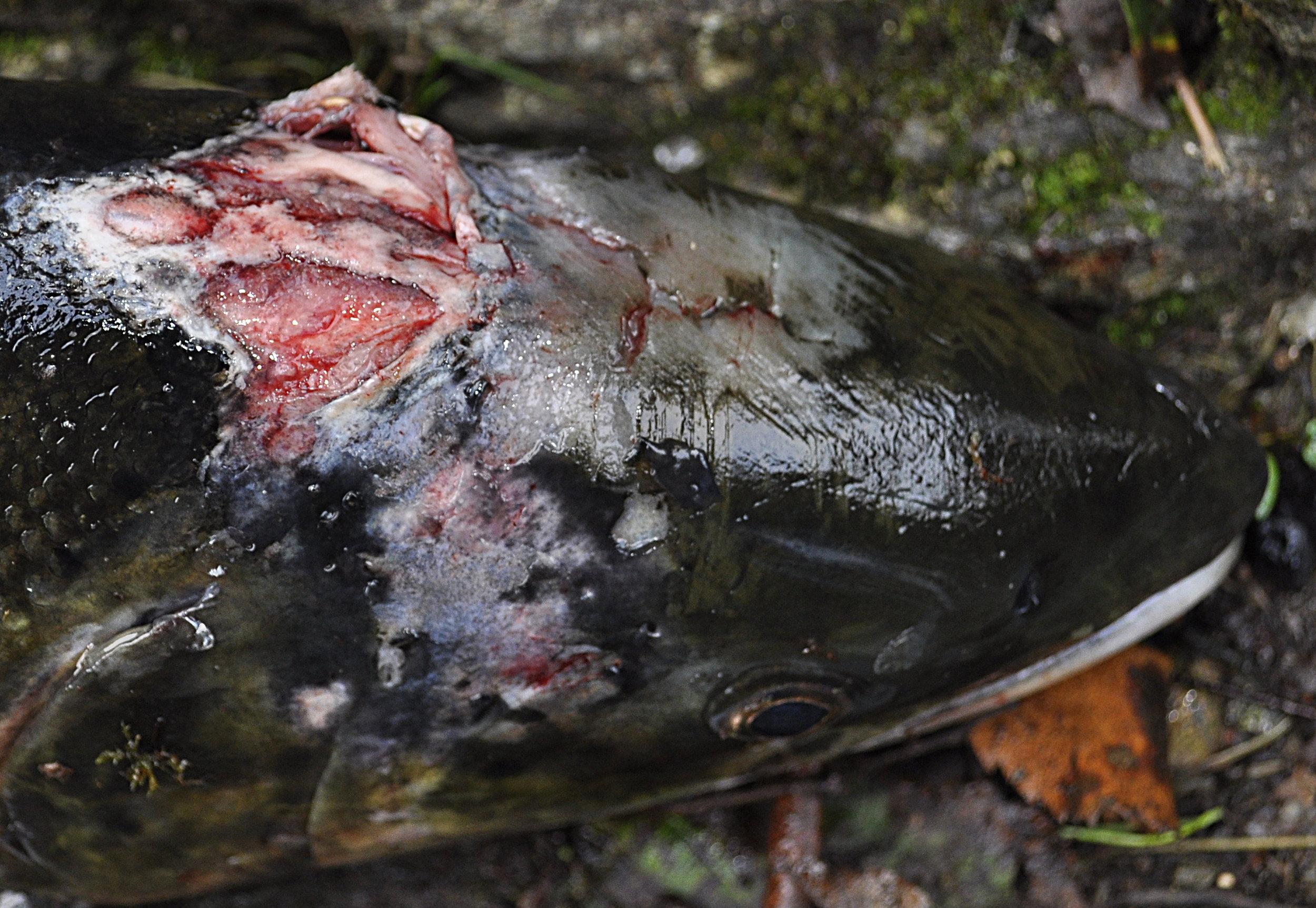 Lakselusen kan beite svært aggressivt og føre til store skader på både vill- og oppdrettslaks. Foto: John Øystein Berg
