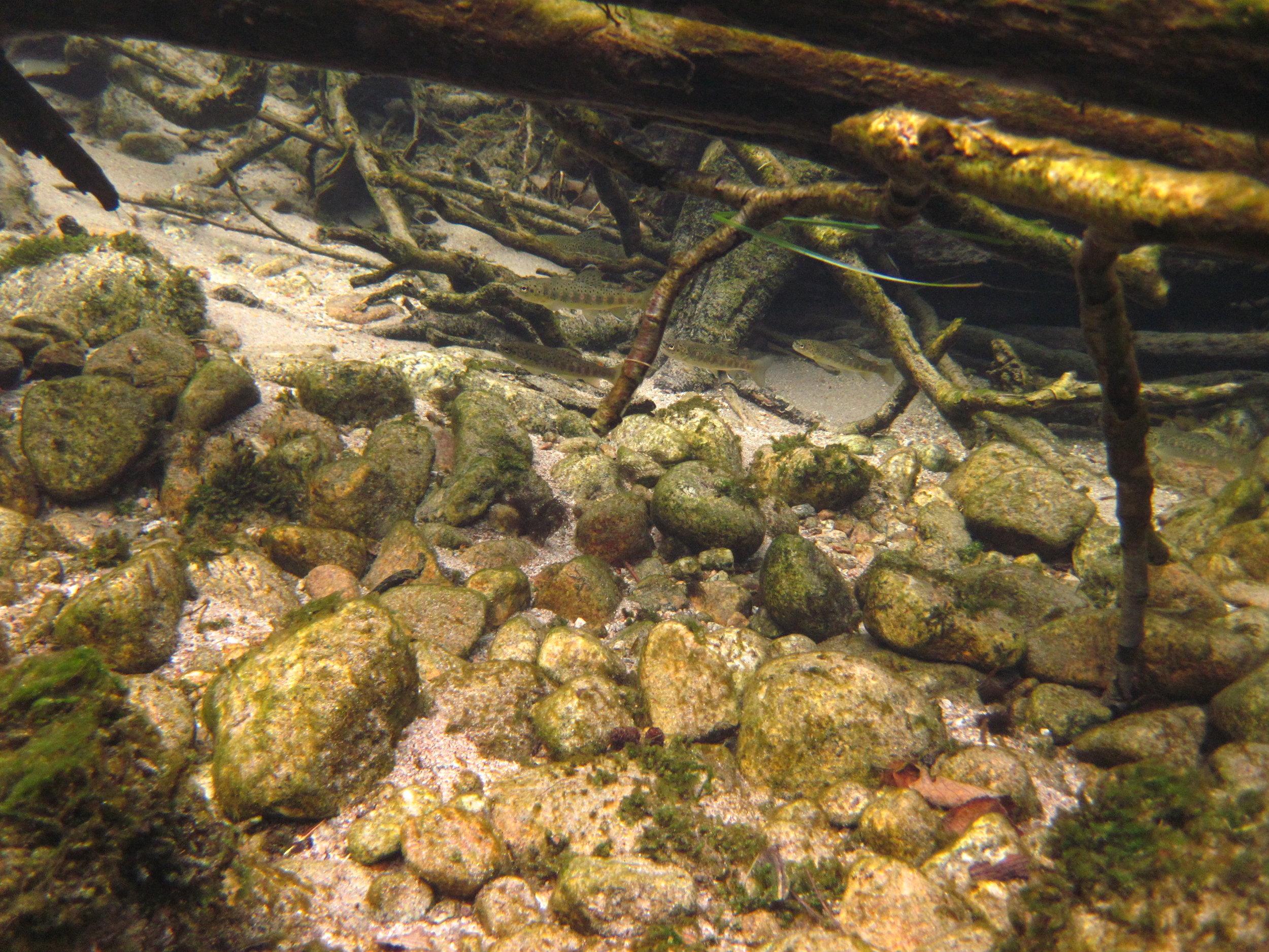 Ungfisk trenger skjul  Foto: Ulrich Pulg, Uni Miljø