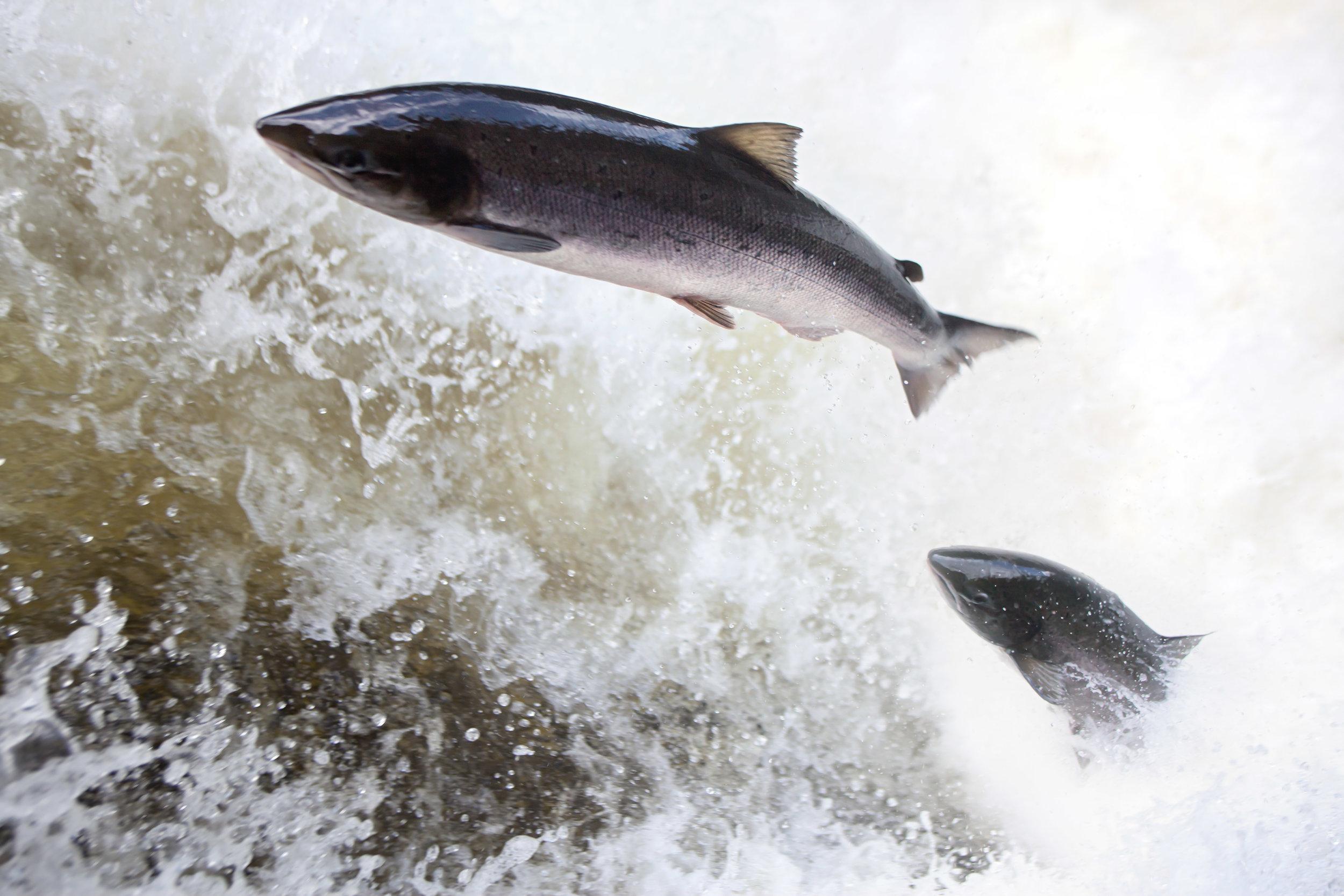 IMG_1093_salmon_leaping_on_the_Egfossen_Gaula_ river_Norwayt_Foto_Matt_Hayes.jpg