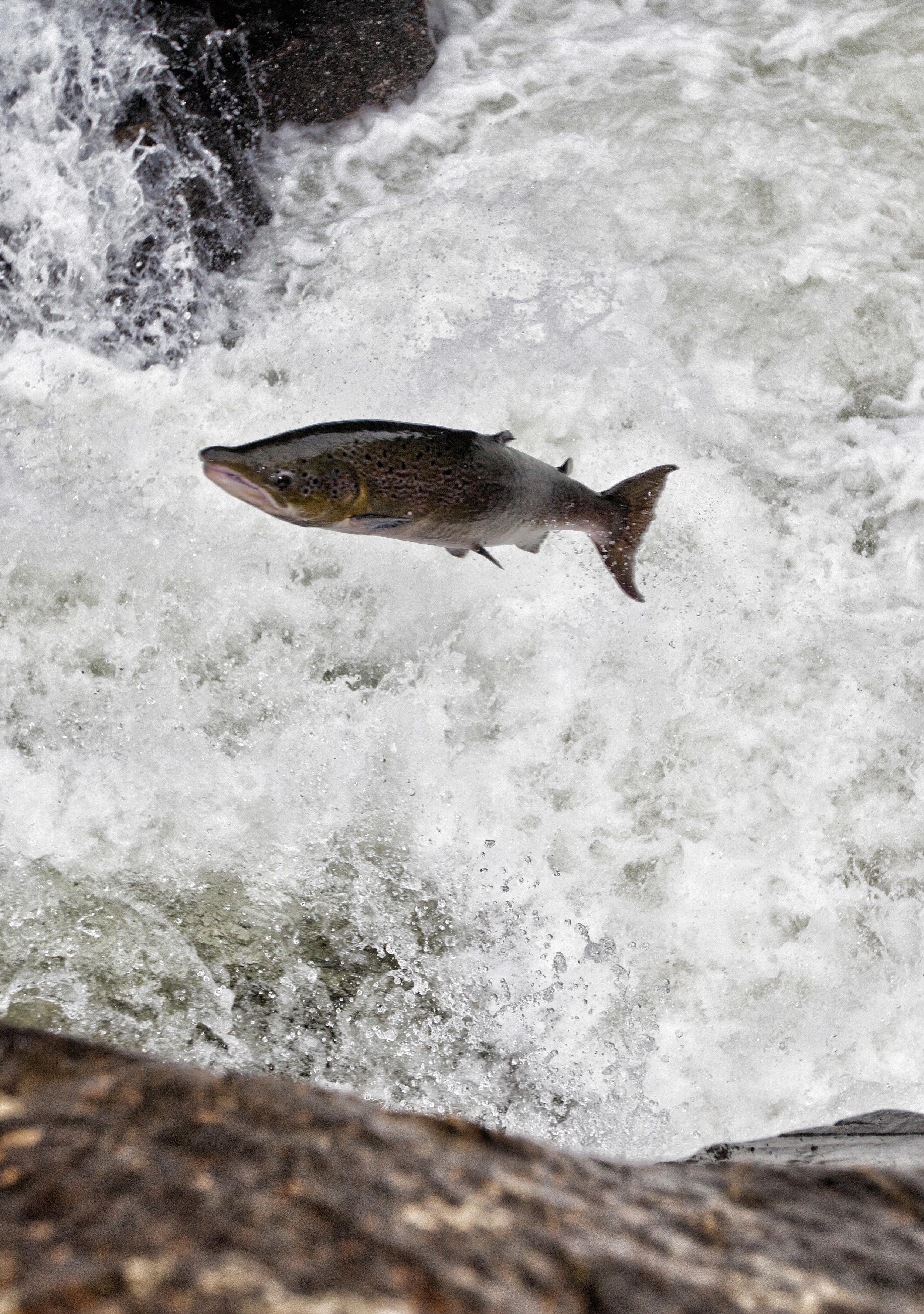 IMG_6383-Leaping_Salmon_Foto_Matt_Hayes.jpg