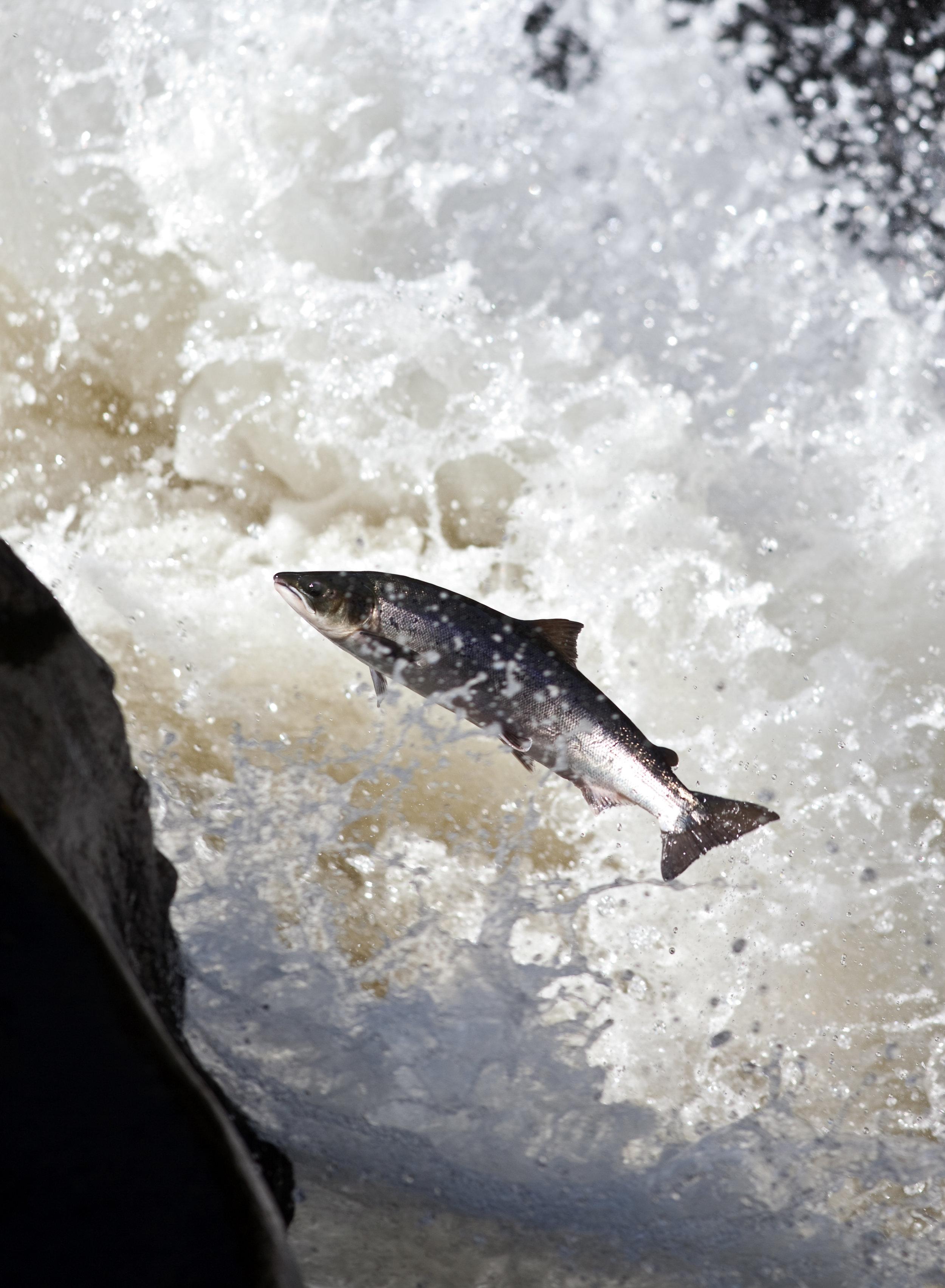 IMG_9752-leaping_salmon_Foto_Matt_Hayes.jpg