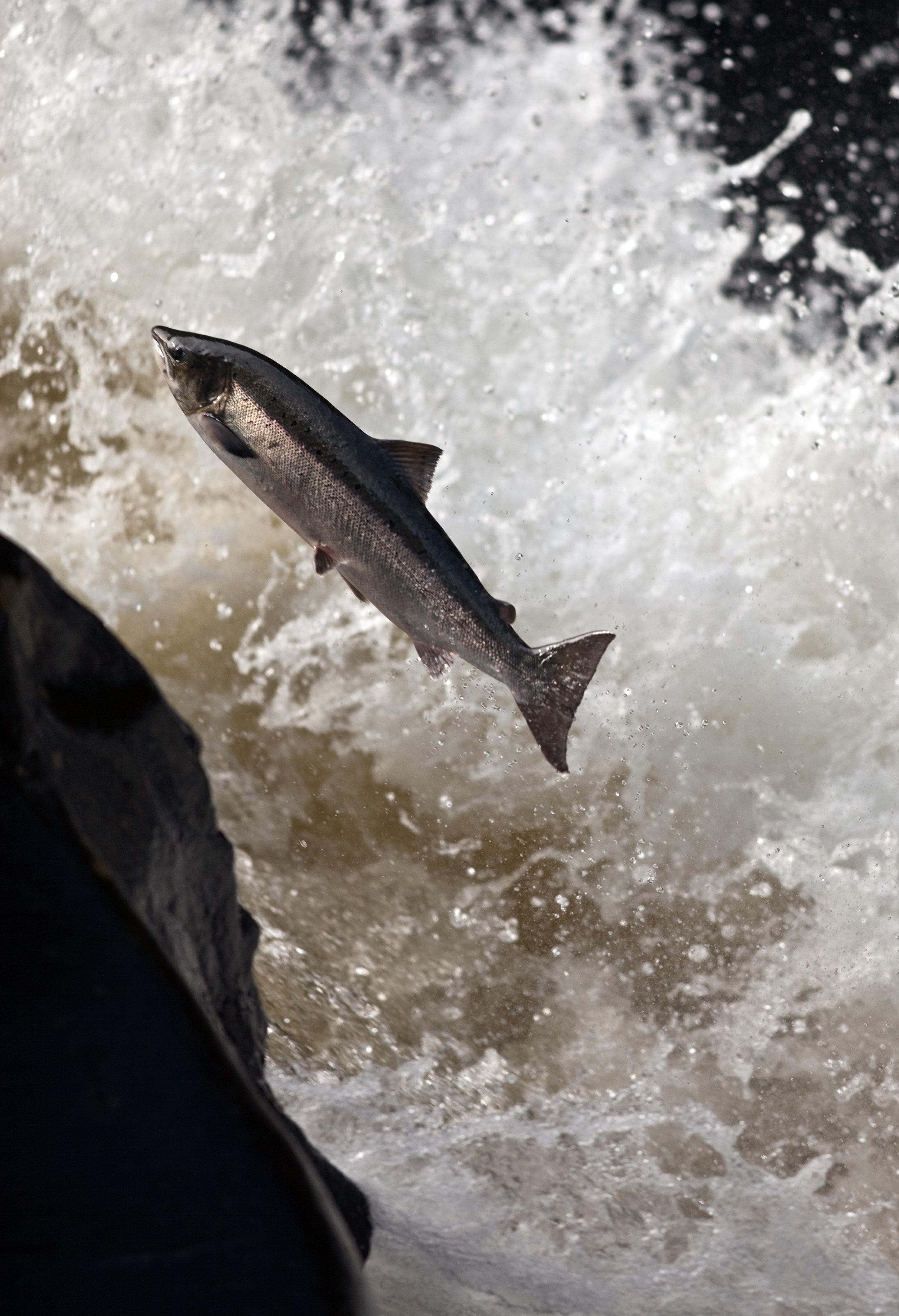 IMG_9794-1-leaping_salmon_Foto_Matt_Hayes.jpg