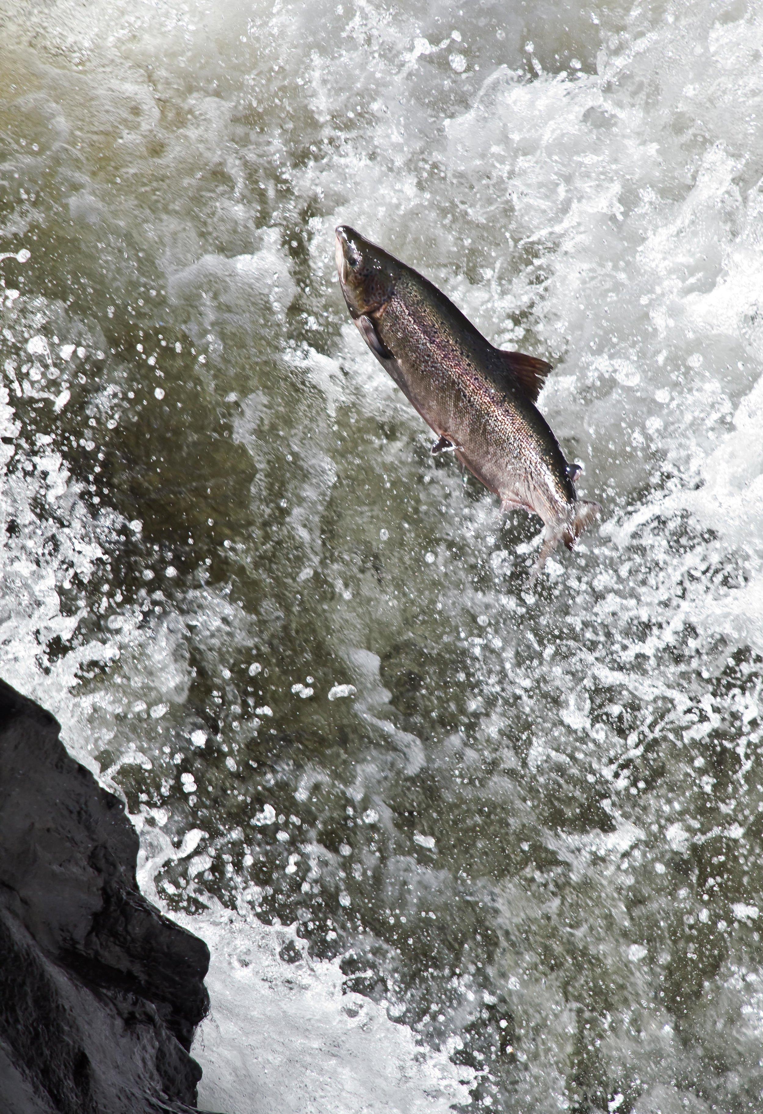 Salmon_leaping_Foto_Matt_Hayes.jpg