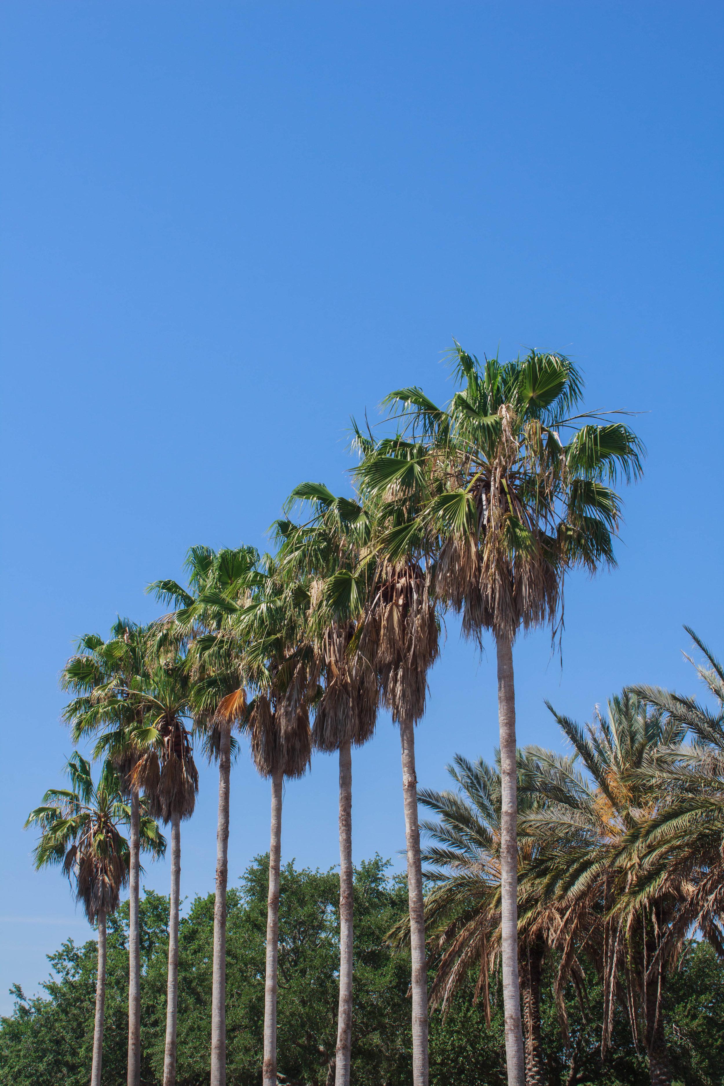 Orlando, Palm Trees.jpg