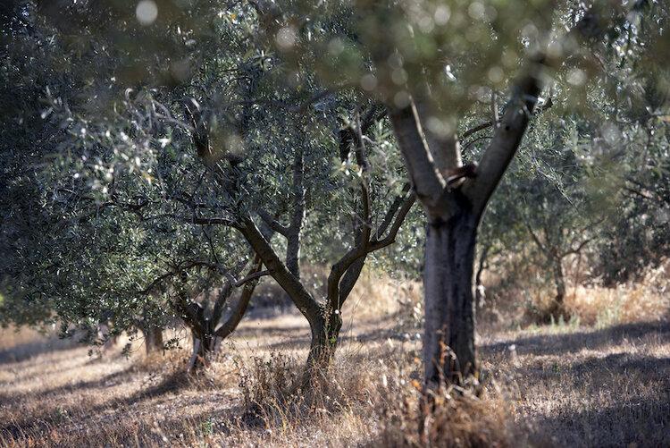 Domaine d'oliviers. (Crédits : Corentin Engel)